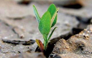 seme che germoglia