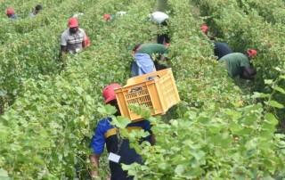 Braccianti agricoli in un campo